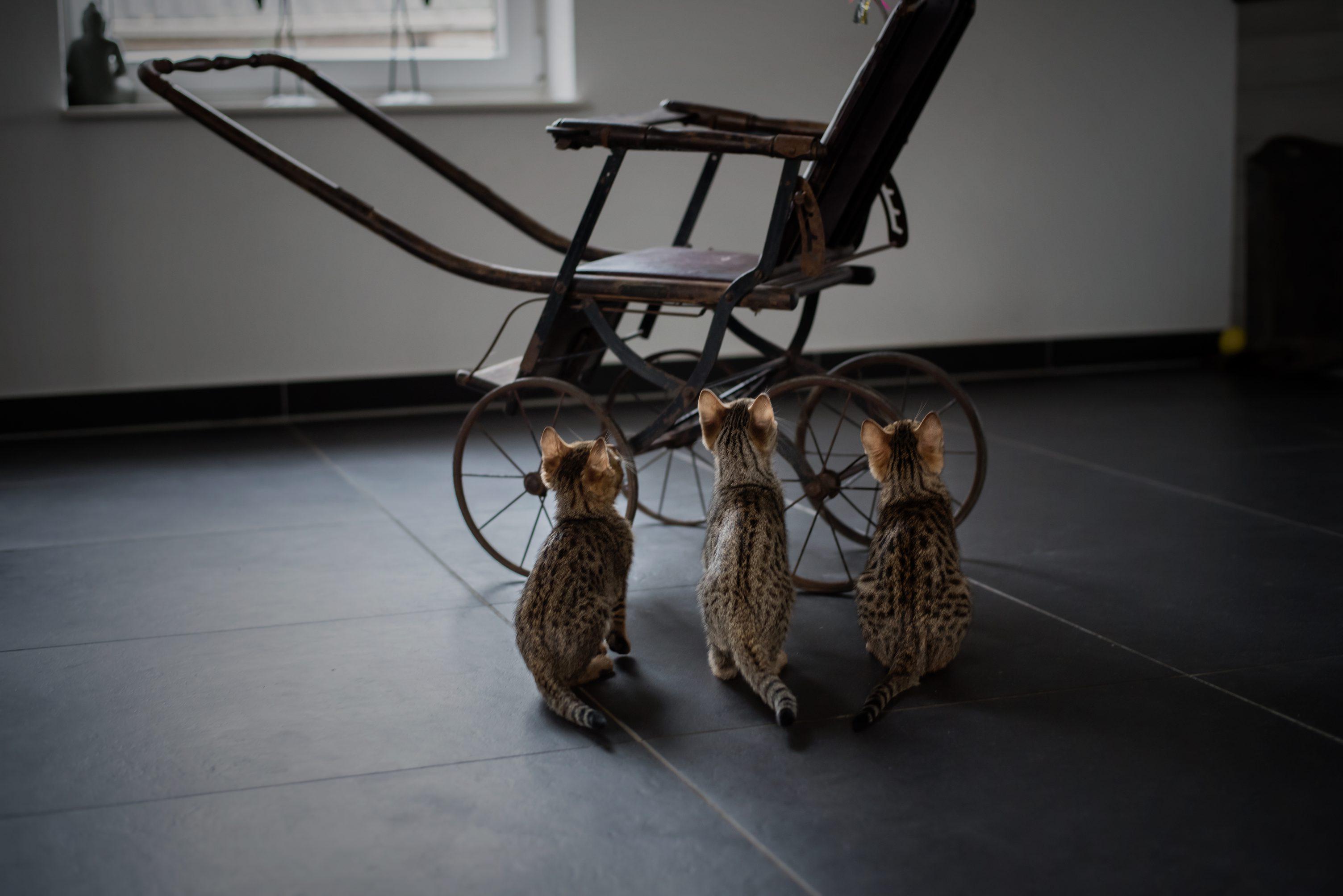 Savannah kittens photoshoot