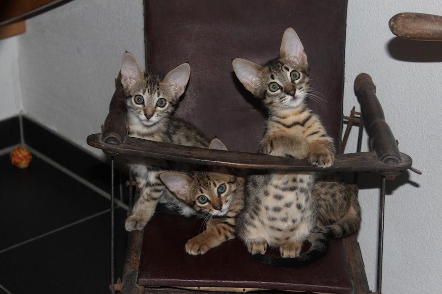 Savannah Kittens in stoel