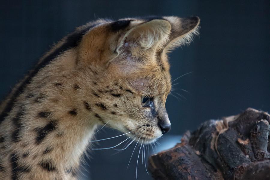 Savannah Cat Maya